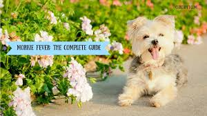 Morkie Puppy Weight Chart Morkie Fever The Complete Guide Certapet
