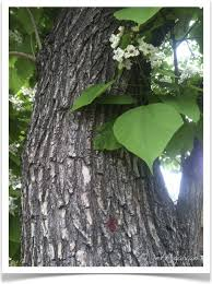 western catalpa catalpa speciosa bark leaves and flowers