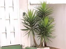 Combina com escritórios também porque a espada de são jorge prefere ambientes mais escuros, com pouca incidência solar. As Melhores Plantas Para Escritorios Consultorios E Recepcoes Minhas Plantas