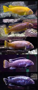 Small Picture 33 best lake malawi cichlids images on Pinterest African