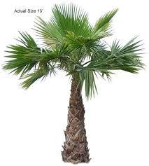 fan palm trees. large mexican fan palm tree trees