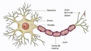 Células Nerviosas Ciencias Para Curiosos