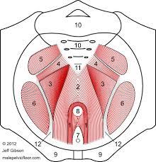 male pelvic floor muscles the pelvic diaphragm