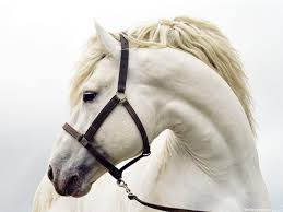 white horse face side. Perfect Face White Horse Face Intended Side W