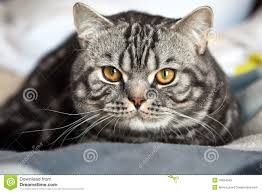 tabby british cat