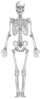 Small Picture Best 25 Human skeleton anatomy ideas on Pinterest Skeleton