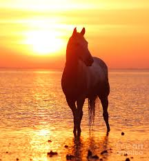wild horses sunset. Fine Horses Wild Horses On The Beach At Sunset  Photo3 Inside Horses Sunset O