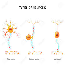 Types Of Neurons Sensory And Motor Neurons And Interneuron