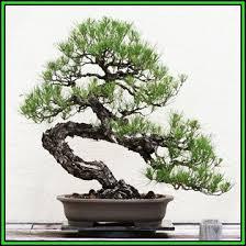 pinus banksiana jack pine bonsai
