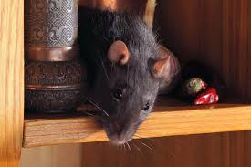7 tips to keep ratice out of the house