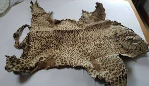 real leopard skin rug interior design hide