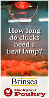 Chick Temperature Chart How Long Do Chicks Need A Heat Lamp Backyard Poultry