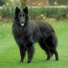 featured breed groenendael belgian shepherd