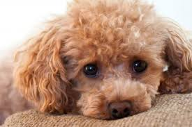 dried up eye discharge poodle forum standard poodle toy poodle miniature poodle forum all poodle owners too