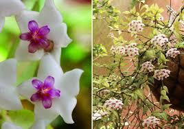 A flor de cera é uma espécie de planta trepadeira, mas que também pode ser usada como uma versão pendente, se cultivada em vaso suspenso. Flor De Cera Bela Do Jardim Revista Natureza