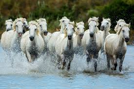 wild horses running through water. Plain Through Throughout Wild Horses Running Through Water O