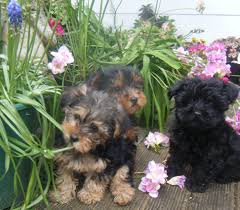 yorkshire terrier x toy poodle