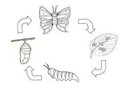 Disegno Di Ciclo Di Vita Di Una Farfalla Da Colorare Disegni Da
