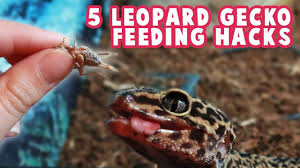 Leopard Gecko Feeding Hacks Dusting Handfeeding Feeder Insects Sizes More