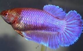 Betta Genetics Chart Betta Breeding Color Chart Vang Bettas