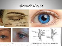 Eyelid Anatomy Eye Lid Anatomy