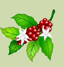 Every week we add new premium graphics by the thousands. Coffee Bean Flower Free Vector Download 13 897 Free Vector For Commercial Use Format Ai Eps Cdr Svg Vector Illustration Graphic Art Design