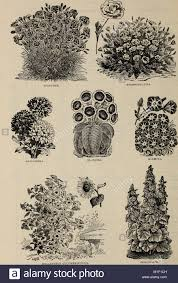 Alfred Bridgeman seeds (1902) (19942578563 Stock Photo - Alamy