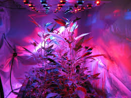 marijuana side lighting