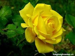 Kết quả hình ảnh cho hoa hồng vàng