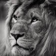 Best 35 Lion Iphone Backgrounds On Hipwallpaper Lion King
