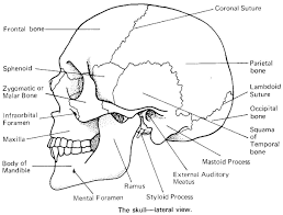 Small Picture Skull Bones Anatomy Coloring Pages Inside glumme