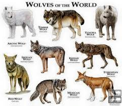 Wolf Species Size Chart Wolves Of The World One Thing Though Ethiopian Wolves