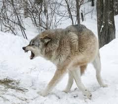 Wolf Body Language Chart Communication International Wolf Center
