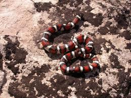 milk snake size central plains milksnake snake buddies