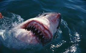great white shark attack. Delighful Attack A Woman Was Bitten In The Leg By A Juvenile Great White Shark On Great White Shark Attack I