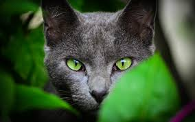 black cats with green eyes wallpaper.  Eyes Black Cat Green Eyes Color Click To View Inside Cats With Wallpaper P