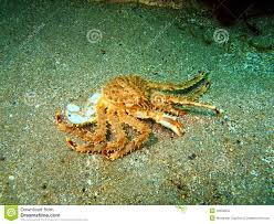 276 King Crab Underwater Photos - Free ...