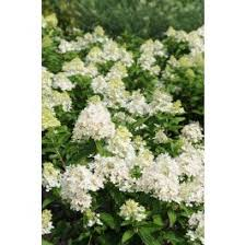 <b>Sweet Summer</b> Panicle Hydrangea