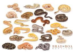 Ball Python Morph Chart Pin By Christa Parsons On My Luv Of Reptiles Ball Python