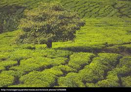 tea plantation at the cameron highlands malaysia asia - Royalty free image  - #13765989 - PantherMedia Stock Agency