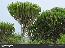 ᐈ Euphorbia Stock Images Royalty Free Euphorbia Photos