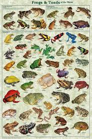 Laminated Frogs Toads Amphibian Identification Poster