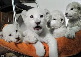 baby white lion with blue eyes. Cute White Lion Cubs Rest On Towel In The Office Of Director Baby With Blue Eyes