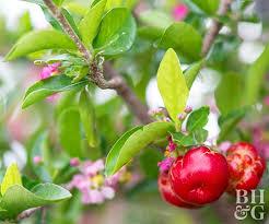 good fruit tree choices for pots micheller topor rooftop garden