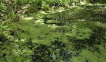 Duckweed - Lemna minor - Details - Encyclopedia of Life