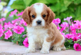 Cavalier Weight Chart Cavalier King Charles Spaniel Dog Breed Information