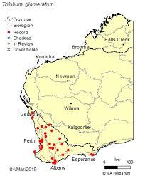 Trifolium glomeratum L.: FloraBase: Flora of Western Australia