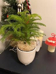 Buy Norfolk Island Pine Trees for Sale ...