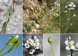 Kernera saxatilis (L.) Sweet subsp. saxatilis - Sistema informativo ...