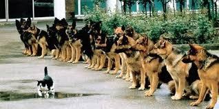 Image result for german shepherds determination